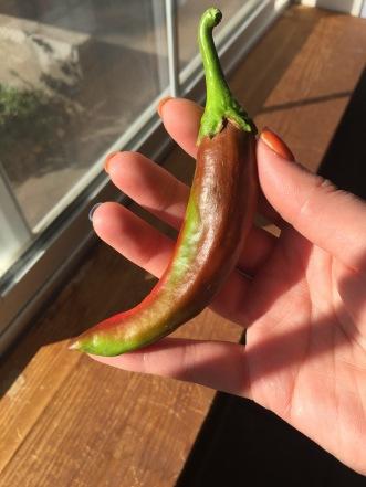 IMG_3966 pepper